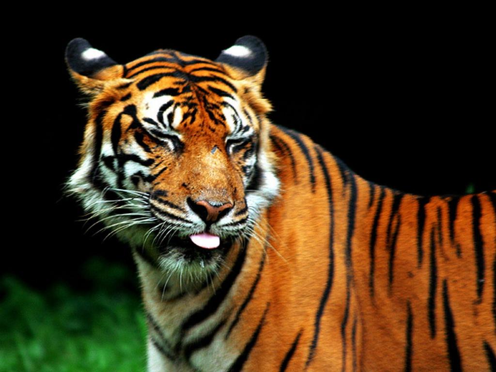 картинки тигры смешные