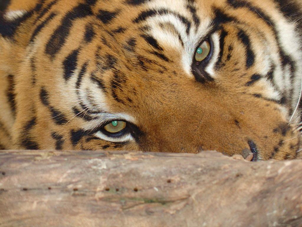 скачать фото тигрицы