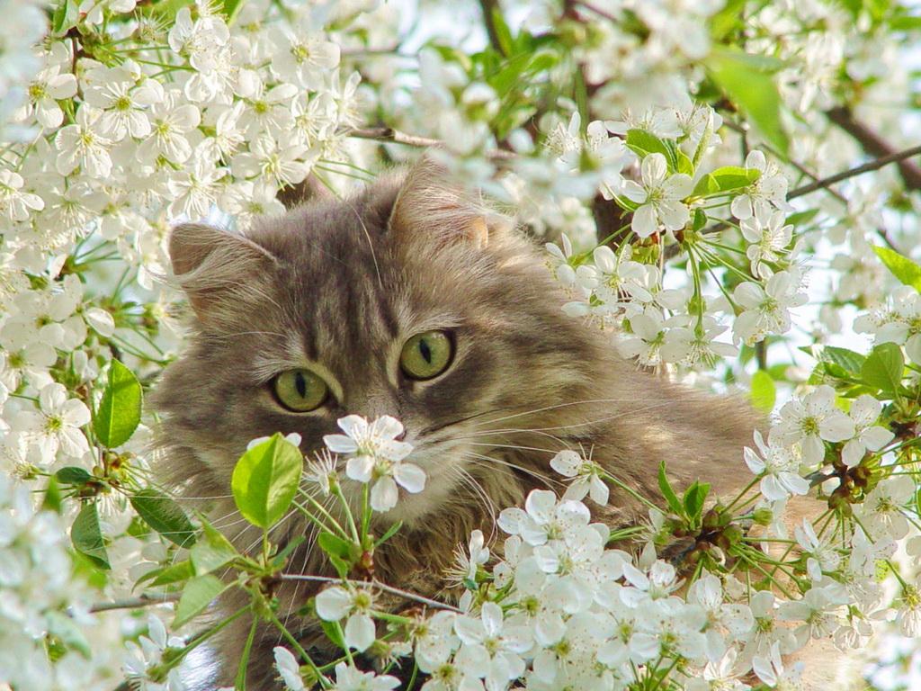 Обои взгляд лежит полосатый серый Кот ковер картинки