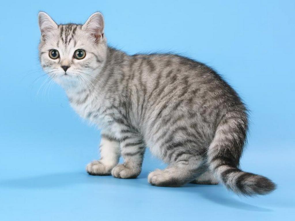 Серые коты в пятна породы