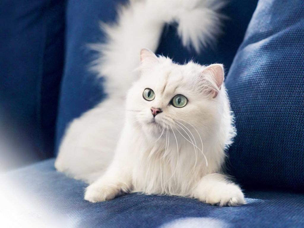 Белая кошечка на синем диване