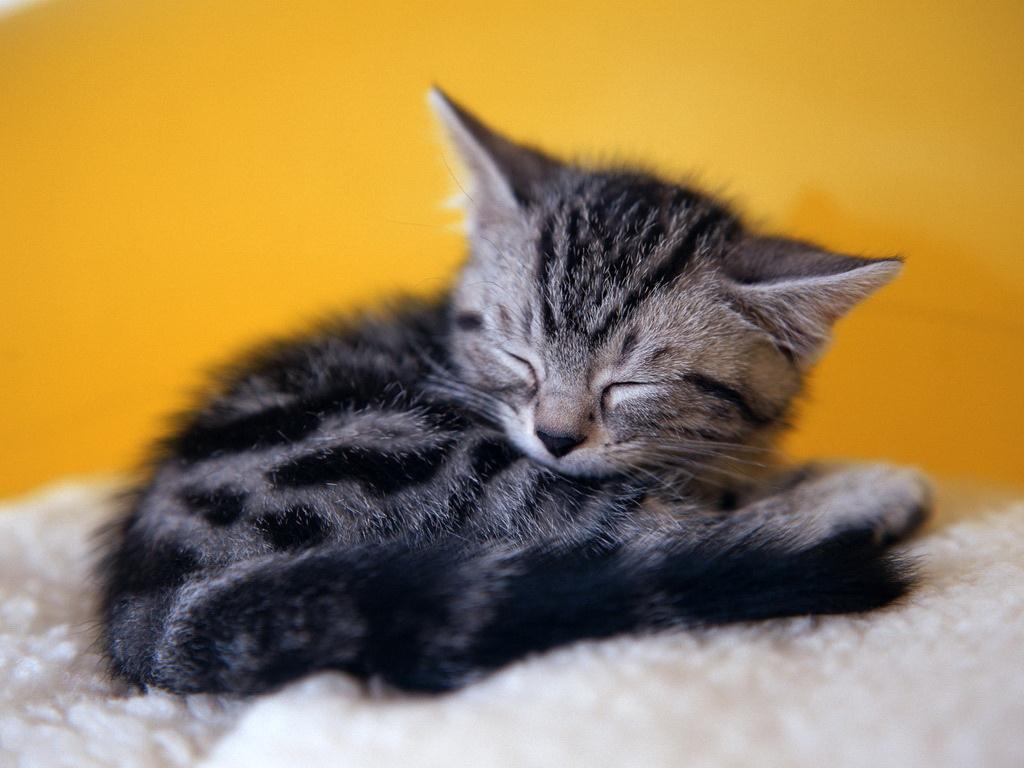 Фото спящая киска 3 фотография