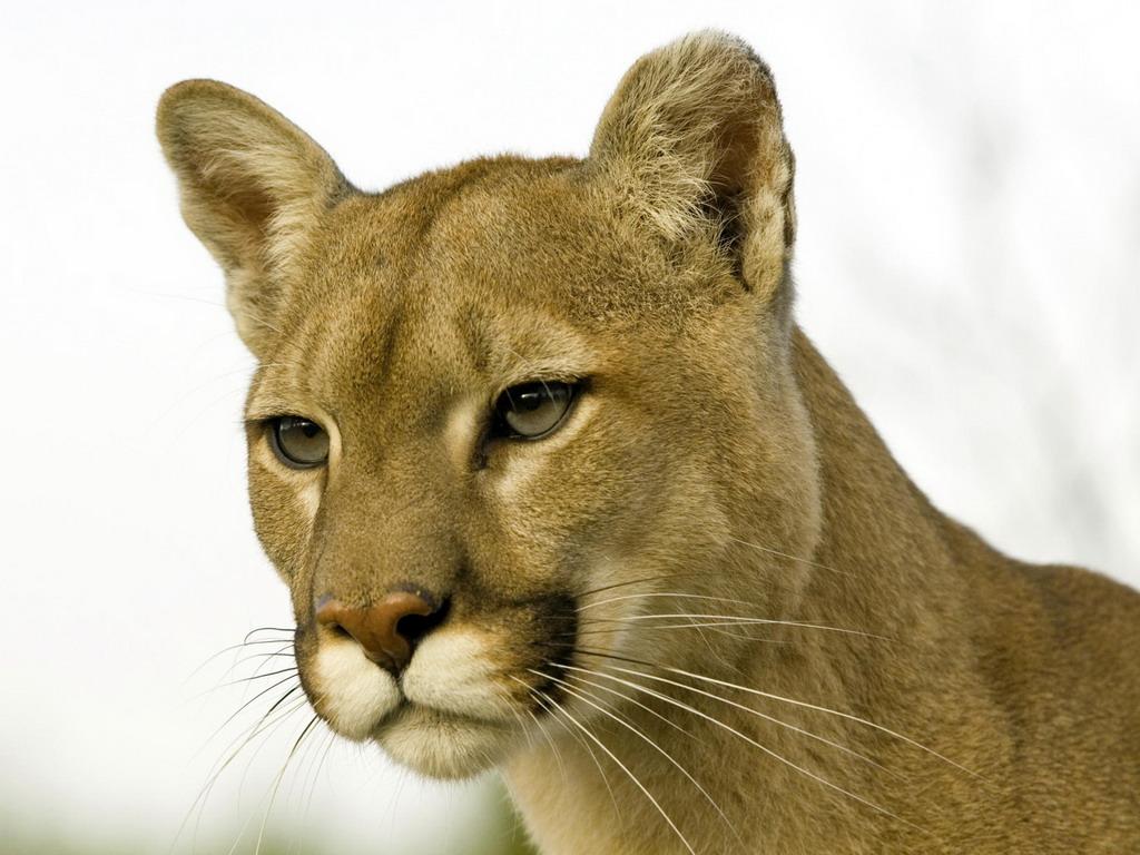 картинки львица на аватарку